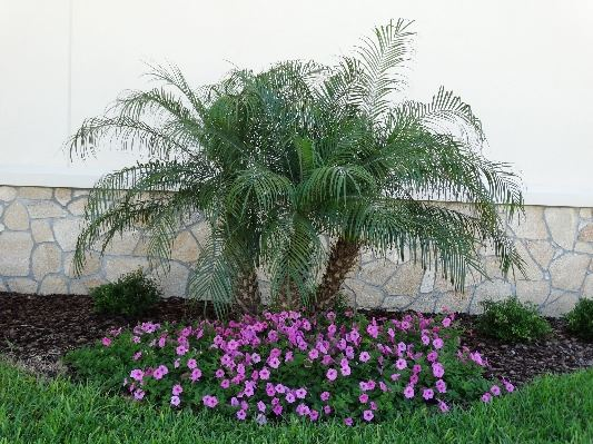 A healthy small, three-trunked palm with short, bright pink-flowering plants at its base.
