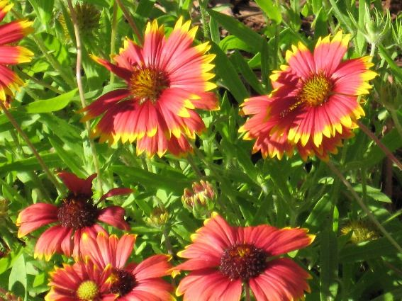 A close-up of blanket-flowers planted in a city park in Daytona Beach Shores